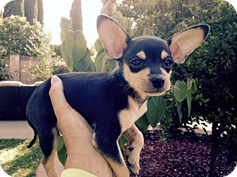 Dachshund/Chihuahua Mix Puppy for adoption in Winnetka, California - PUPPIES