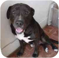 Labrador Retriever/Terrier (Unknown Type, Medium) Mix Dog for adoption in West Los Angeles, California - Odie