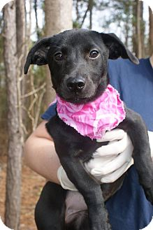 Jack Russell Terrier/Labrador Retriever Mix Puppy for adoption in Baltimore, Maryland - Stella