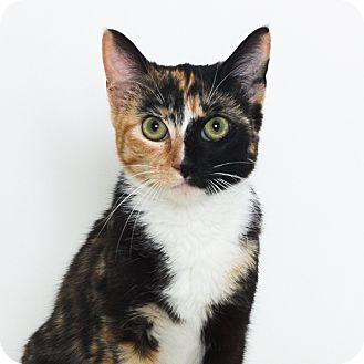 Calico Cat for adoption in Stockton, California - Daisy