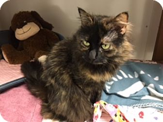 Domestic Longhair Cat for adoption in Diamond Springs, California - Precious