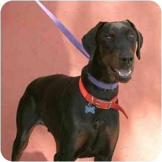Doberman Pinscher Dog for adoption in Denver, Colorado - Valentino II