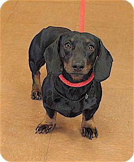 Dachshund Mix Dog for adoption in Rapid City, South Dakota - Angus