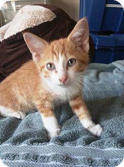 Domestic Shorthair/Domestic Shorthair Mix Cat for adoption in Chicago, Illinois - Jasper