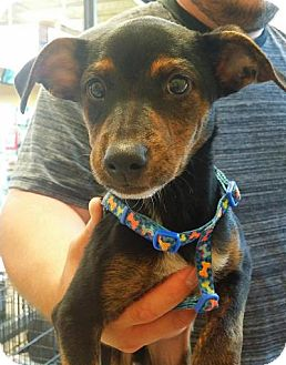 Miniature Pinscher Mix Puppy for adoption in Orlando, Florida - Robo