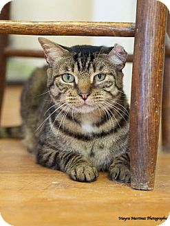 Domestic Shorthair Cat for adoption in Nashville, Tennessee - Captain Jack