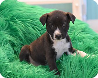 Shepherd (Unknown Type) Mix Puppy for adoption in Groton, Massachusetts - Packer