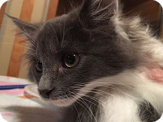 Domestic Mediumhair Kitten for adoption in Swansea, Massachusetts - Julie