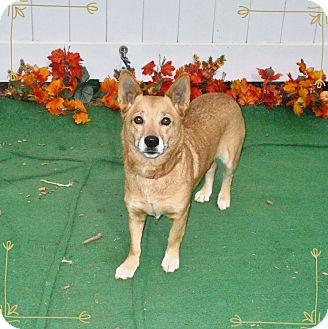 Welsh Corgi Mix Dog for adoption in Marietta, Georgia - ROKI