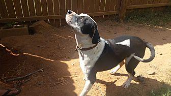 American Bulldog Mix Dog for adoption in Demorest, Georgia - London