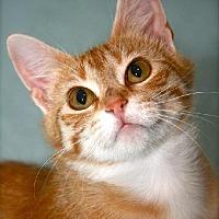 Adopt A Pet :: TIMMIE KAT - Des Moines, IA