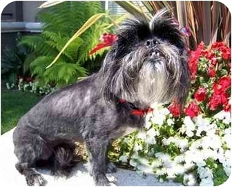 Lhasa Apso Dog for adoption in Los Angeles, California - RIVA
