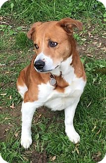 Labrador Retriever Mix Dog for adoption in Franklinville, New Jersey - Henny
