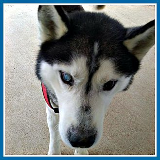 Husky Dog for adoption in New Richmond,, Wisconsin - Mica