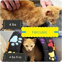 Adopt A Pet :: Hercules - Carroll, IA