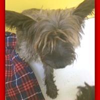Adopt A Pet :: Scotty Skittles 29052 - Pampa, TX