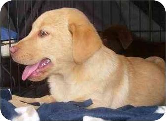 Labrador Retriever Puppy for adoption in Evansville, Indiana - Arriana