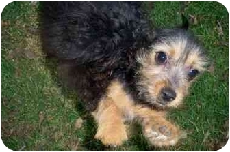 Chihuahua/Yorkie, Yorkshire Terrier Mix Puppy for adoption in Kokomo, Indiana - Felon a YORKCHI!
