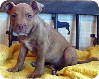 Pit Bull Terrier Mix Puppy for adoption in Overland Park, Kansas - Peanut