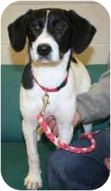 Beagle/Border Collie Mix Puppy for adoption in Plainfield, Illinois - Gemini