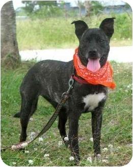 Labrador Retriever/Terrier (Unknown Type, Medium) Mix Dog for adoption in Portsmouth, Rhode Island - Ella