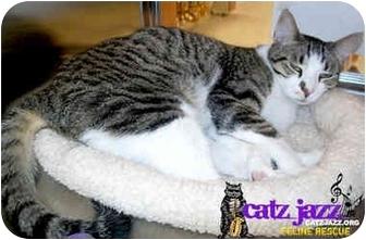 Domestic Shorthair Cat for adoption in Cedar Creek, Texas - Freda Mae