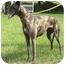 Photo 2 - Greyhound Dog for adoption in Tampa, Florida - Zori
