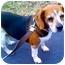 Photo 1 - Beagle Dog for adoption in Indianapolis, Indiana - Kori