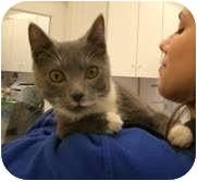 Domestic Shorthair Cat for adoption in Arlington, Virginia - Smokey