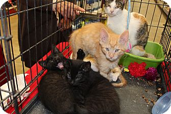 Domestic Shorthair Kitten for adoption in Santa Monica, California - Valentino