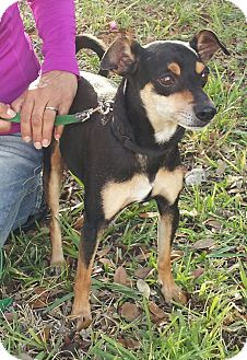 Manchester Terrier Mix Dog for adoption in Coral Springs, Florida - Manny