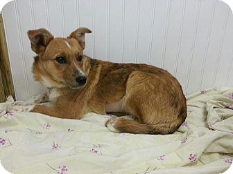 Australian Shepherd/Australian Cattle Dog Mix Puppy for adoption in Bedford, Virginia - Jamie