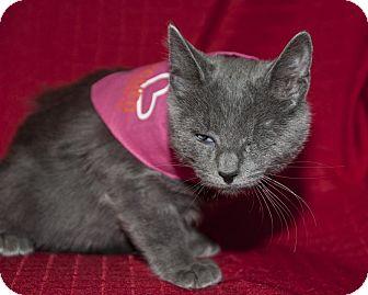Russian Blue Kitten for adoption in Wayne, New Jersey - Chloe