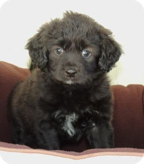 Cocker Spaniel/Spaniel (Unknown Type) Mix Puppy for adoption in La Habra Heights, California - Hagrid