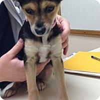 Adopt A Pet :: Juno - Oceanside, CA