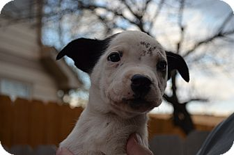 Australian Cattle Dog Mix Puppy for adoption in Westminster, Colorado - Riley