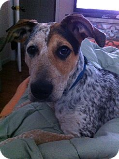Australian Cattle Dog/Beagle Mix Dog for adoption in Jersey City, New Jersey - Kate Mara