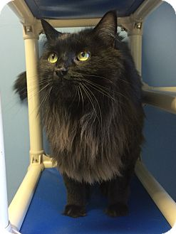 Maine Coon Cat for adoption in Germantown, Tennessee - Bandit