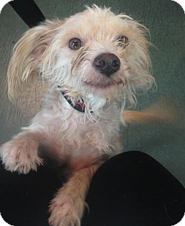 Terrier (Unknown Type, Small)/Poodle (Miniature) Mix Dog for adoption in Encino, California - Gus