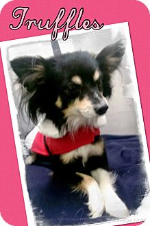 Papillon/Chihuahua Mix Dog for adoption in Apache Junction, Arizona - Truffles