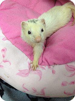 Ferret for adoption in Fawn Grove, Pennsylvania - Spaz
