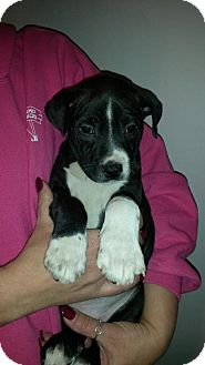 Boston Terrier Mix Puppy for adoption in House Springs, Missouri - BOY