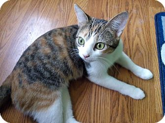 Domestic Shorthair Cat for adoption in Covington, Kentucky - Keiko
