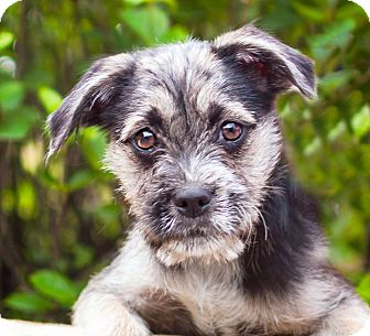 German Shepherd Dog/Airedale Terrier Mix Puppy for adoption in Cincinnati, Ohio - Orion