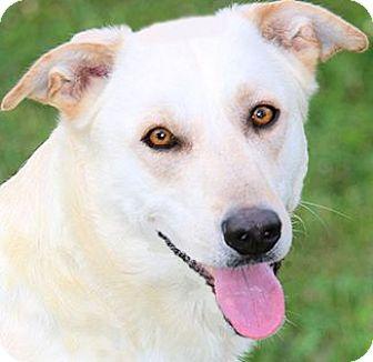 Anatolian Shepherd/Labrador Retriever Mix Dog for adoption in Winchester, Kentucky - DUKE(LOVES HIS FAMILY!!)