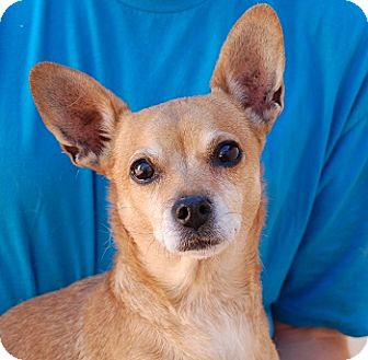 Chihuahua Mix Dog for adoption in Las Vegas, Nevada - Crystal