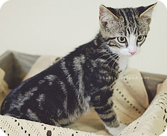 Domestic Shorthair Kitten for adoption in Fort Worth, Texas - Wyatt