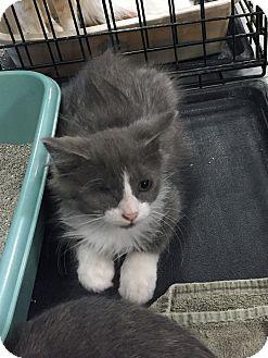 Domestic Longhair Kitten for adoption in Rochester, Minnesota - Knox