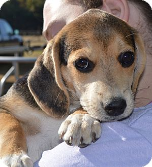 Beagle Mix Puppy for adoption in Portsmouth, New Hampshire - Cookydoo-ADOPTION PENDING