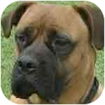 Bullmastiff Dog for adoption in various, Virginia - Justice